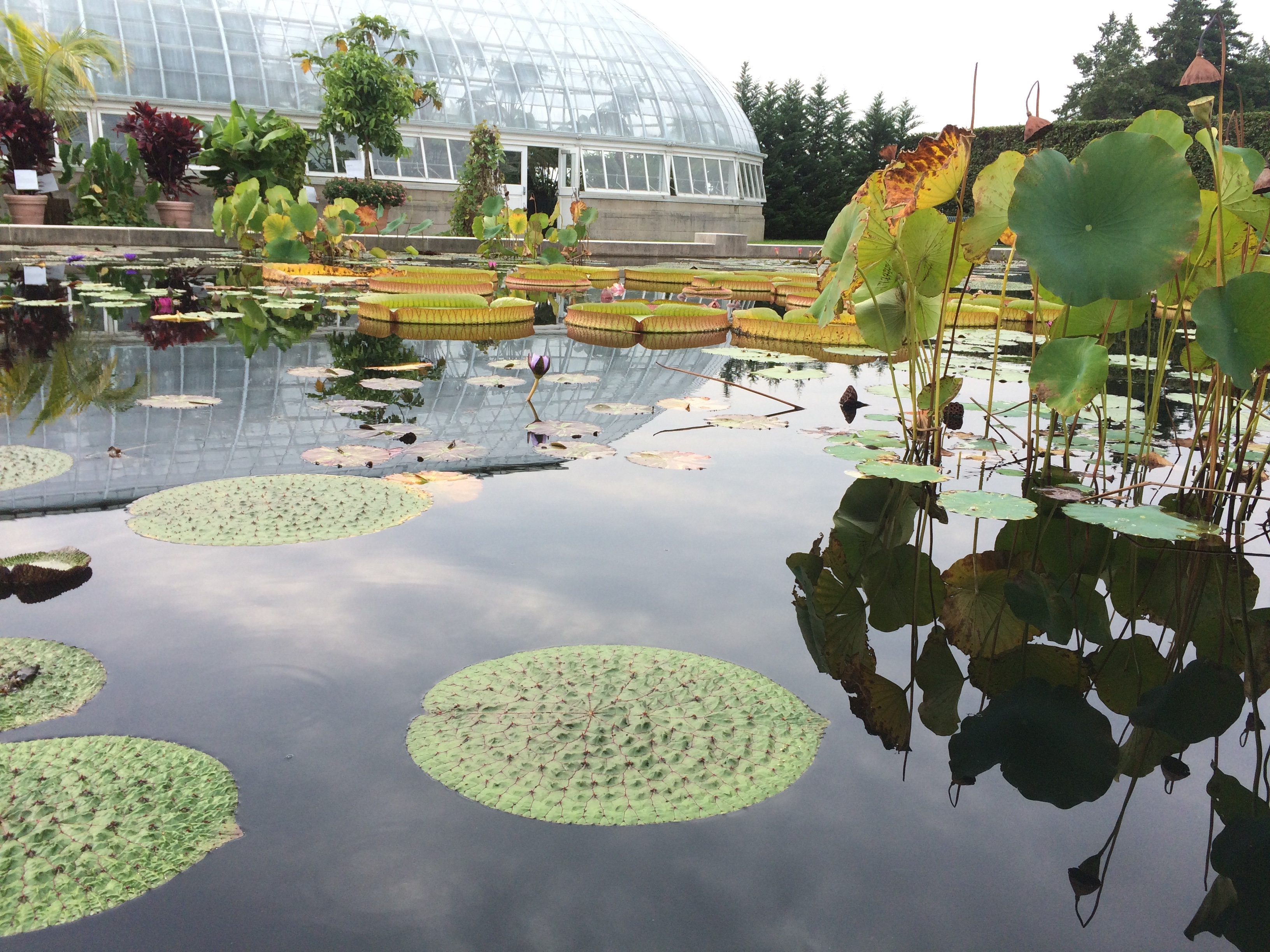 Photo of small water lily pads in foreground, large lily pads in mid-ground, and a large glasshouse in the background.